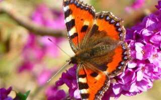 Растения, привлекающие пчел и бабочек