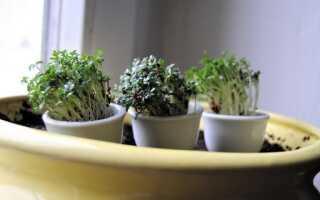 Кресс — свойства, выращивание и применение не только с праздника