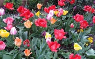 Тюльпановая лихорадка — история цветочного безумия