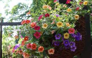 Калибрахоа — миллион балконов, цветущих на балконе
