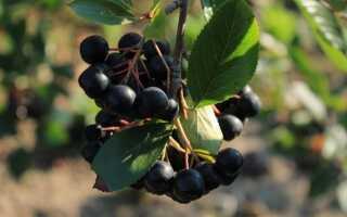 Как вырастить аронию — фруктовый кустарник с небольшими требованиями