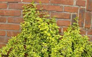 Судьба Фортуны: универсальное декоративное растение. Как вырастить и вырастить это