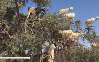 Что делают козы на дереве? (ВИДЕО)