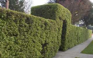 Весенняя обрезка лиственных и хвойных живых изгородей