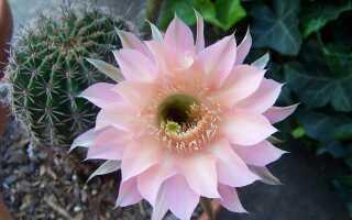 Цветущий Эхинопсис кактус. Как вырастить его, чтобы у него были цветы