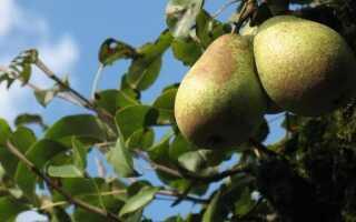 Вредители фруктовых деревьев. Пришло время бороться с грибами, атакующими дерево