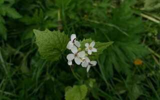 Чосначек — трава со вкусом и запахом чеснока