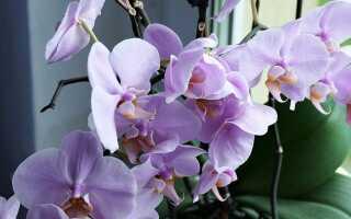 Орхидеи легко выращивать — орхидеи, которые хорошо растут дома