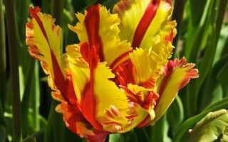 Тюльпаны: сажаем и выращиваем эти цветы. руководство