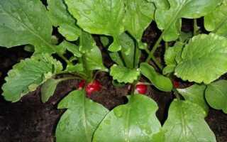 Выращивание редиса в саду. Какие свойства редиска
