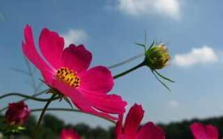 Космос — воздушный цветок, легко выращиваемый. Выращивание, забота, требования к космосу