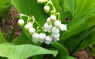 Ландыши в саду — ароматные цветы для тенистых скидок