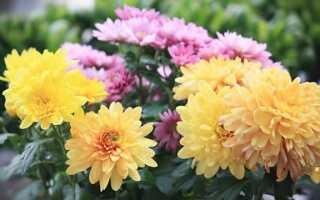 Хризантемы — как выращивать эти осенние цветы
