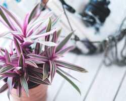 Как вырастить мексиканское рео — растение в горшке с разноцветными листьями