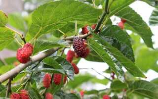 Шелковица в саду. Выращивание и тутовые сорта для сада