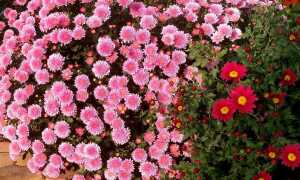 Как вырастить хризантемы в саду