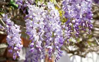 Глицин, или глициния — цветущие лозы. Как вырастить и вырастить их