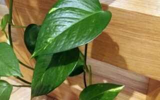Золотой эпипремнум или сциндапсус — легко выращиваемый в горшке альпинист