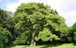 Павловния — быстрорастущее дерево, также для древесины и биомассы