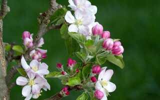 Весенние кусты плодовых деревьев и кустарников. Условия и приготовления