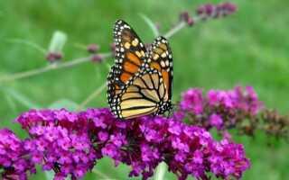 Будлея Давида, или дерево бабочек. Будлей выращивание и уход