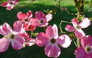 Дерения — красивые и цветущие кустарники для сада