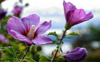 Гибискус кетмия или гибискус для сада. Выращивание, уход, обрезка —