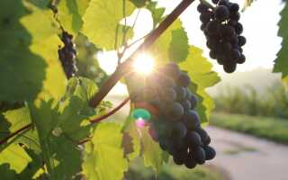 Как настроить виноградник?