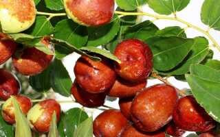 «Китайские финики» означают плоды варенья. Вкусная и полезная закуска