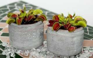 Мухоловка: растение, которое охотится на насекомых