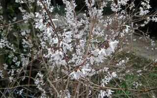 Белая форзиция (корейский абелиофил) — куст с миндальным ароматом
