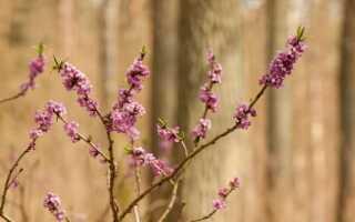 Декоративные кусты и деревья, которые цветут зимой — как они выглядят и когда цветут