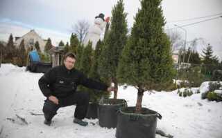Рождественская елка: еловая или в горшочке