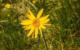 Arnika górska — полезные свойства этой травы