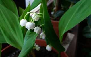 Ландыш, цветущий зимой — как это сделать. Катание на ландышах в 5 шагов