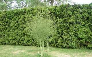 Спаржа в саду. Выращивание спаржи для украшения