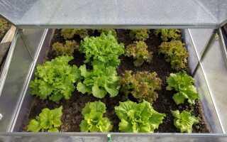 Салат — виды, выращивание, посев