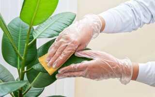 Очистка листьев горшечных растений. Как и зачем это делать