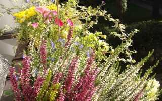 Балкон в осеннем халате: сажаем балконные цветы на осень