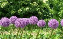 Чеснок и декоративный чеснок. Выращивание и использование