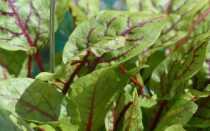 Щавель, шпинат и ревень — как их отличить (ФОТО)