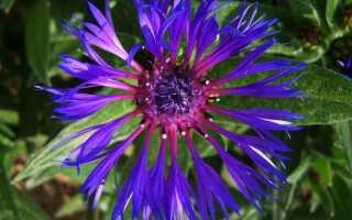Васильки — не просто голубые цветы. Выращивание и виды —