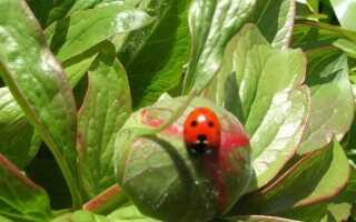 Пионы: почему иногда они не цветут в течение нескольких лет