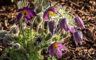 Сасанки в саду. Цветы с особыми требованиями