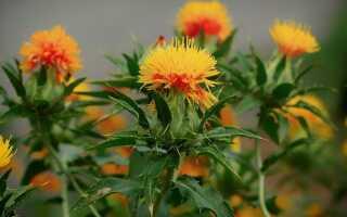 Сафлор. Специи, травы и декоративные растения. Выращивание и применение