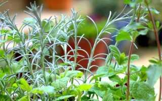 Польские лекарственные травы: когда сеять и как их собирать
