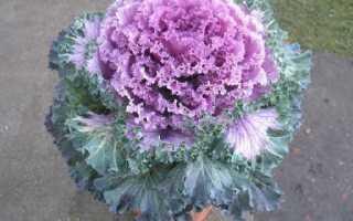 Декоративная капуста украсит сад мягкой зимой