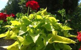 Рептилия для горшка и огорода: картофельный вилон. Выращивание и применение