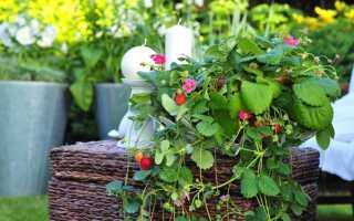 Как выращивать фрукты на балконе: сажать деревья и кустарники