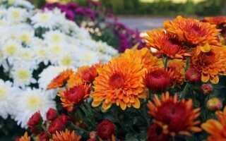 Болезни кладбищенских цветов — астр и хризантем